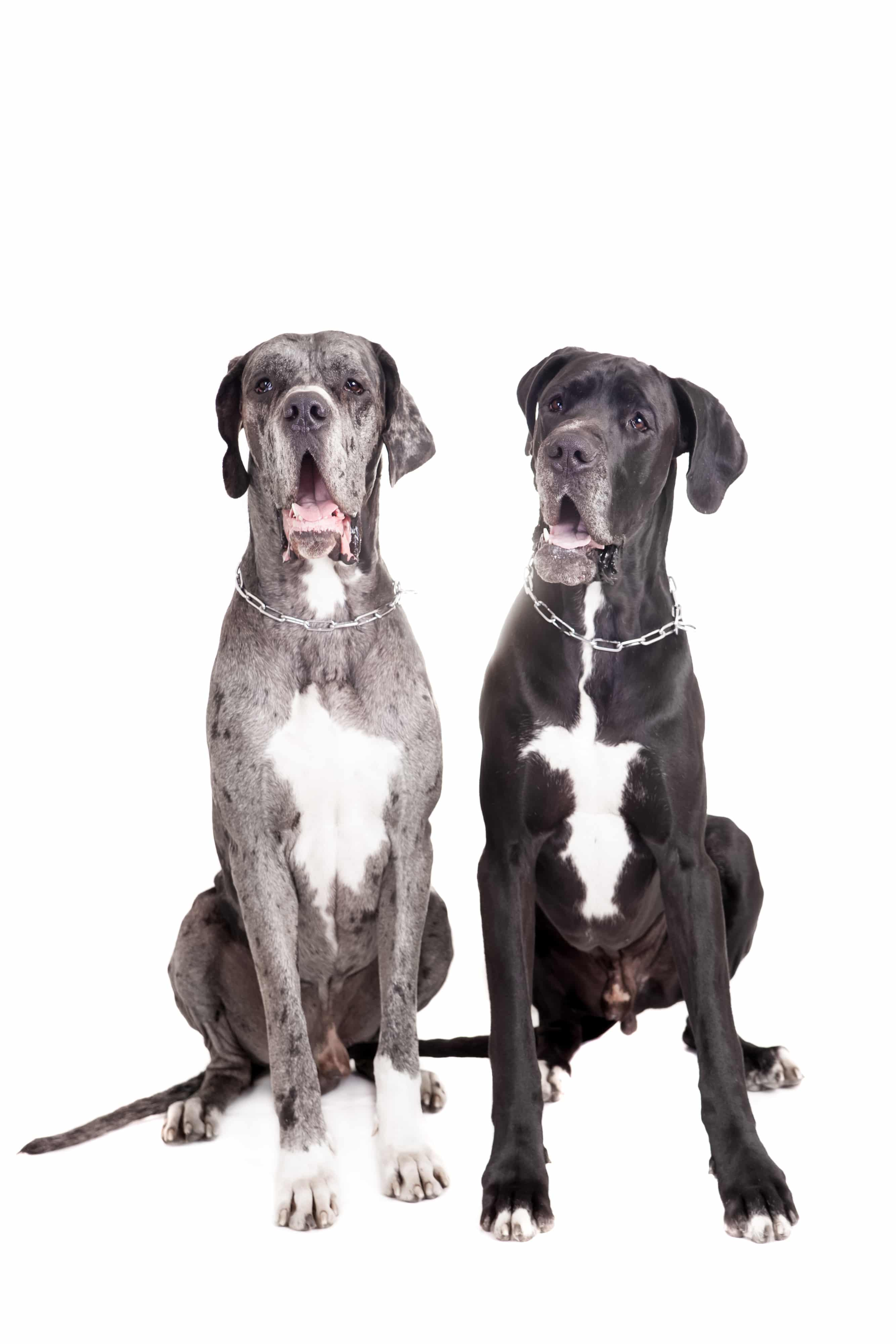Two great Dane dogs on front of a white background