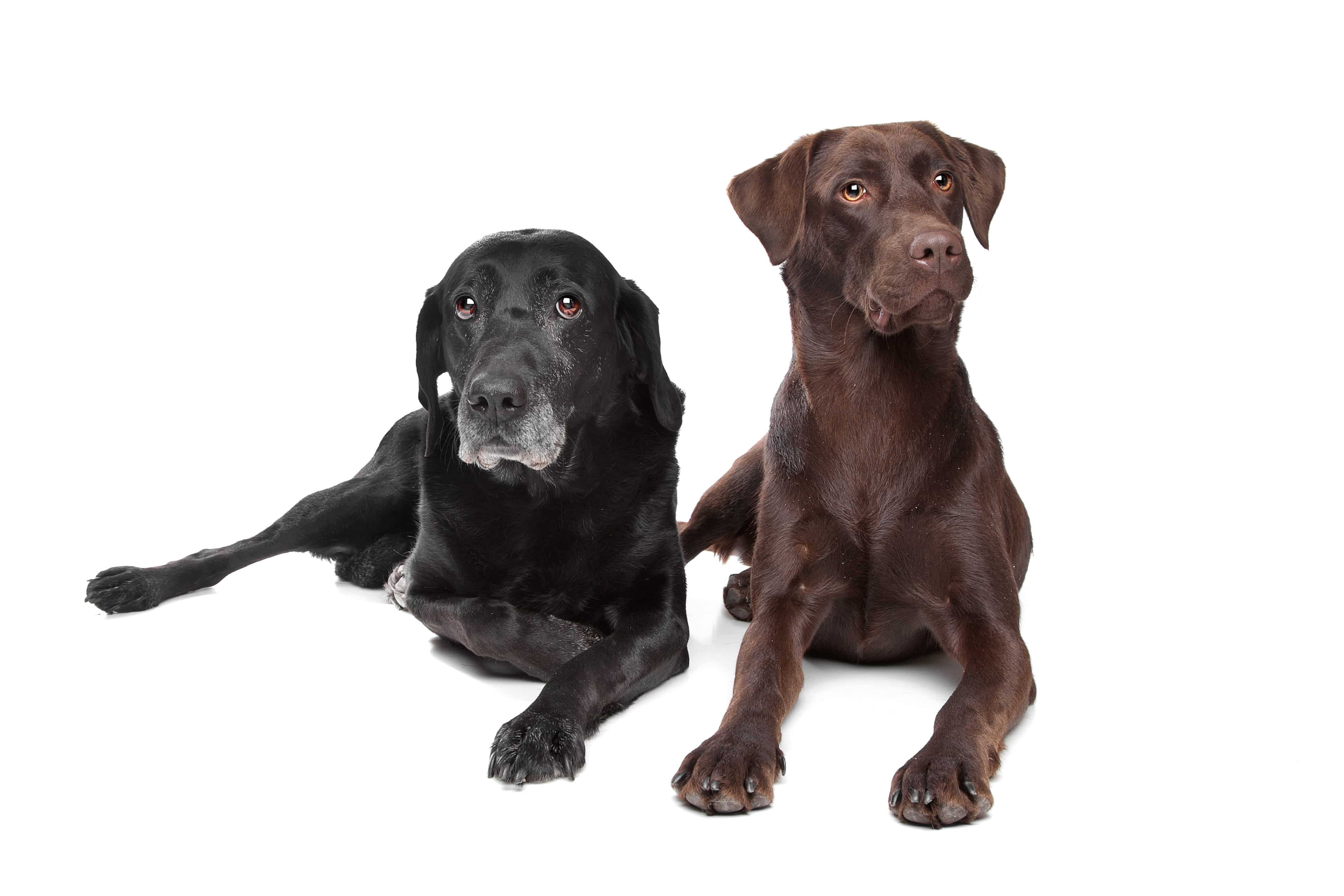 black and brown Labrador Retriever in front of a white background