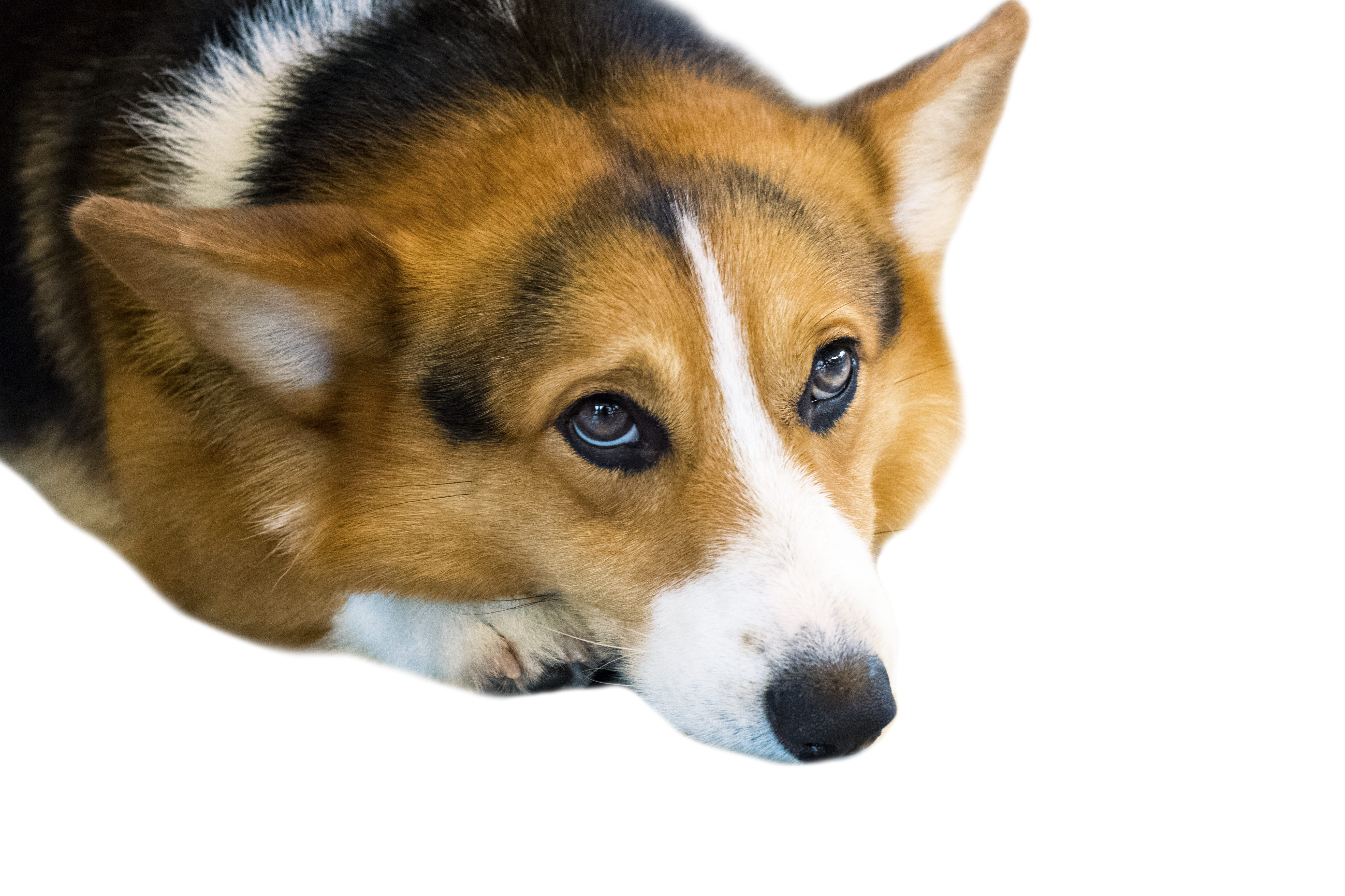 Pembroke Welsh Corgi isolate on background,front view , technical cost-up.