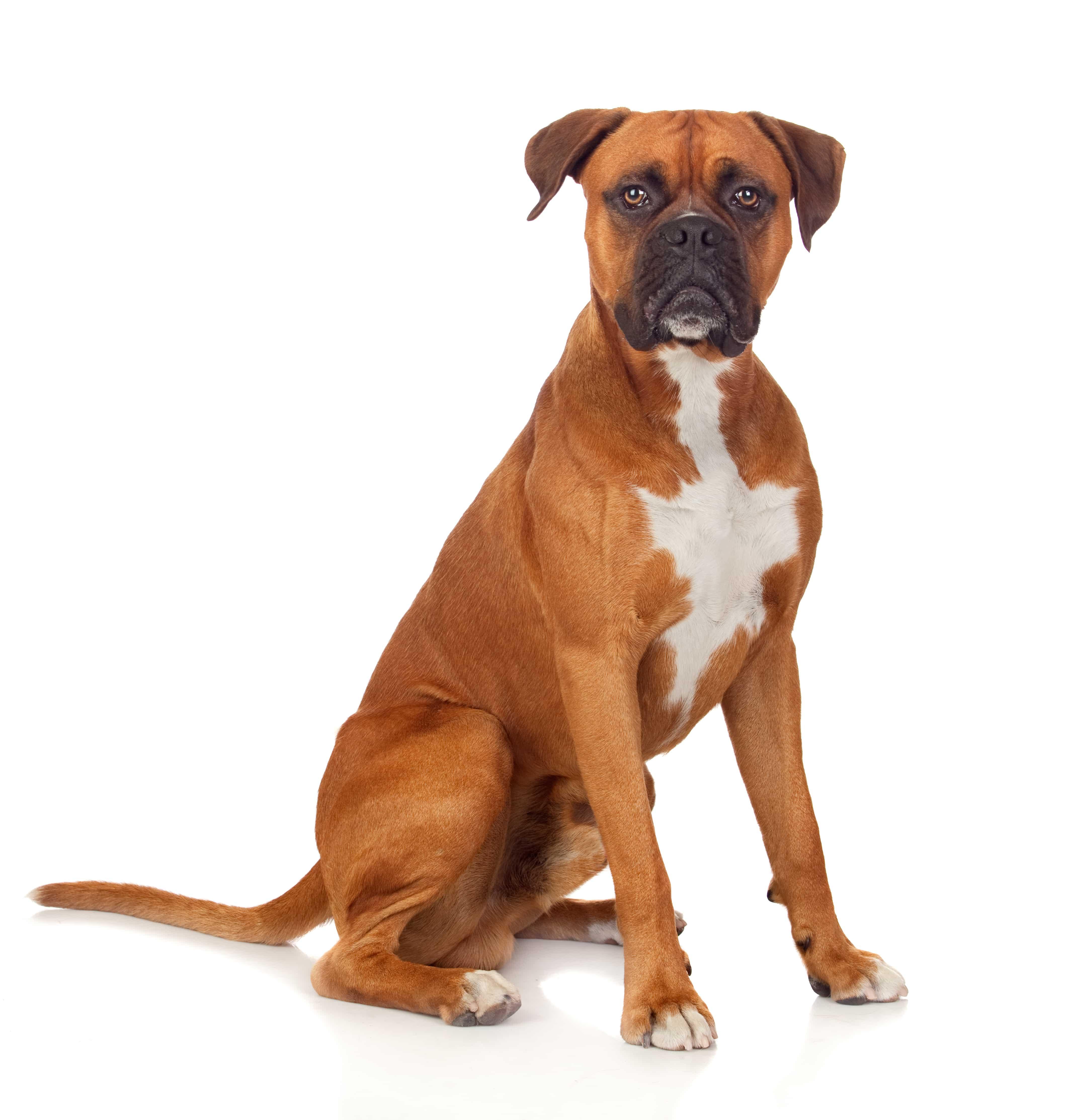 Beautiful Boxer dog isolated on white background