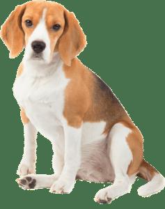 beagle-min