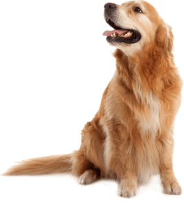 goldenretriever-min