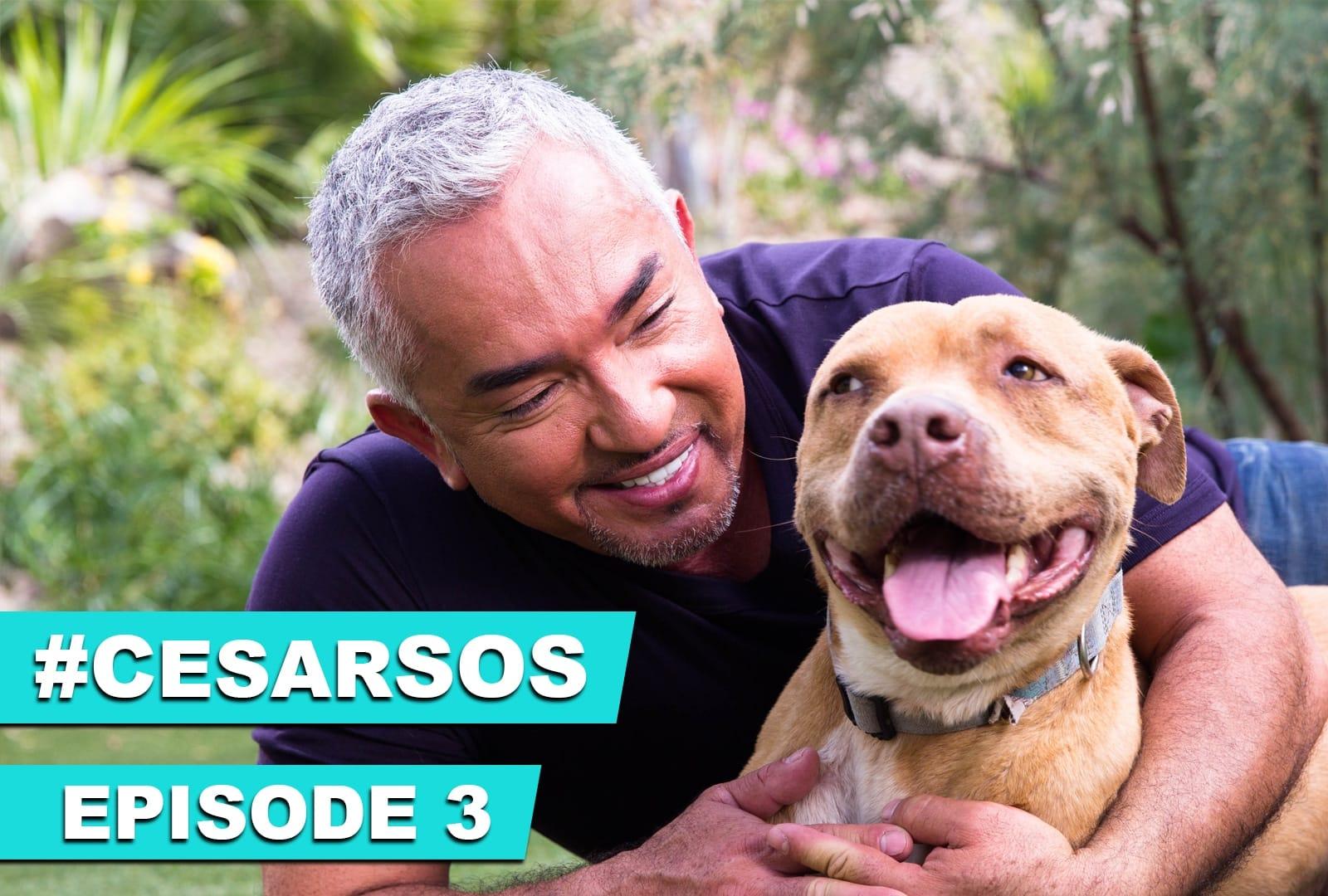 cesar dog trainer youtube