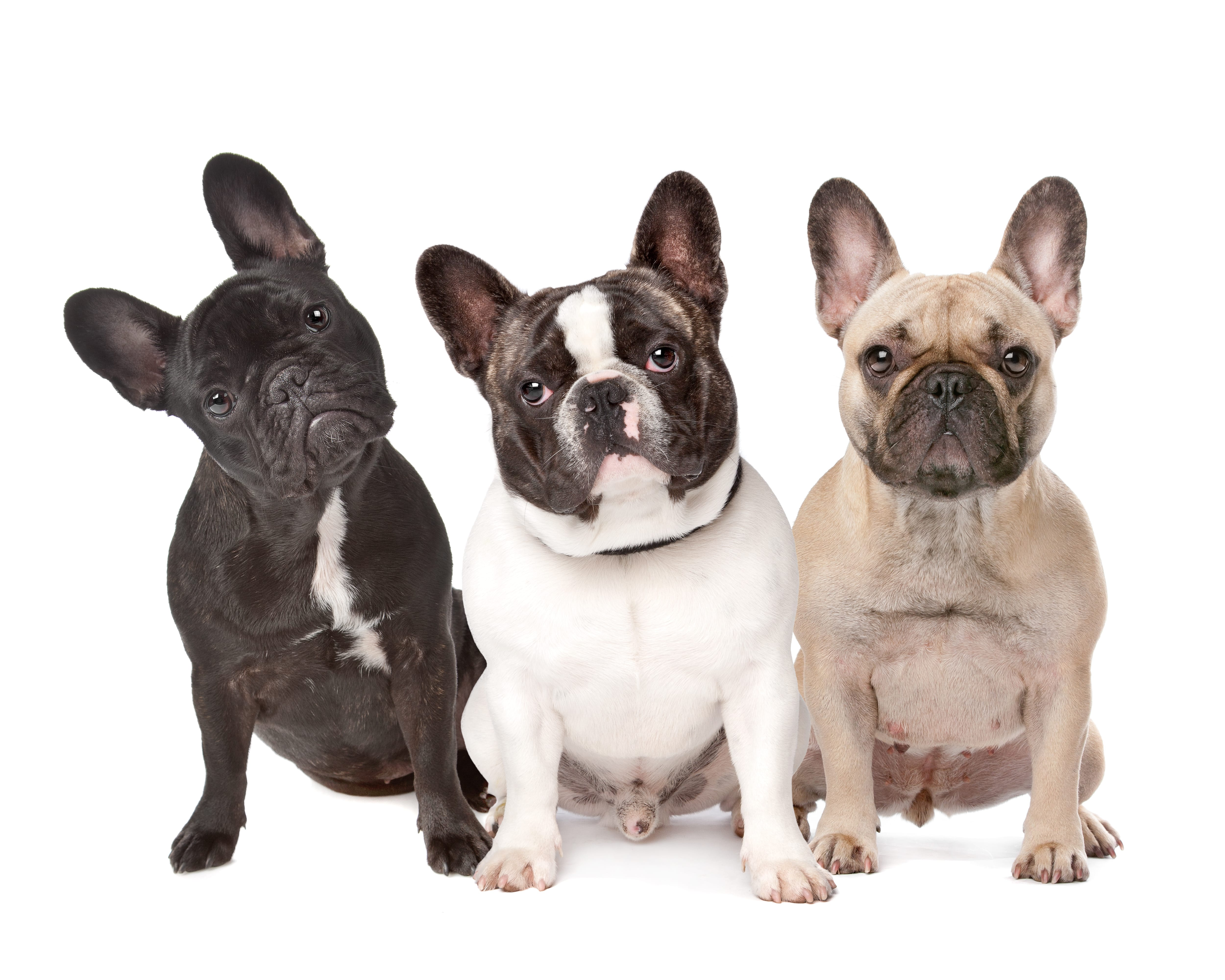 French Bulldogs Cesars Way