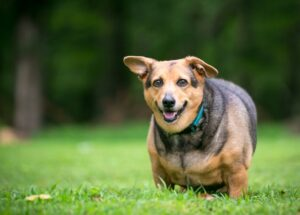 Overweight dog stands outside in the grass for exercise.