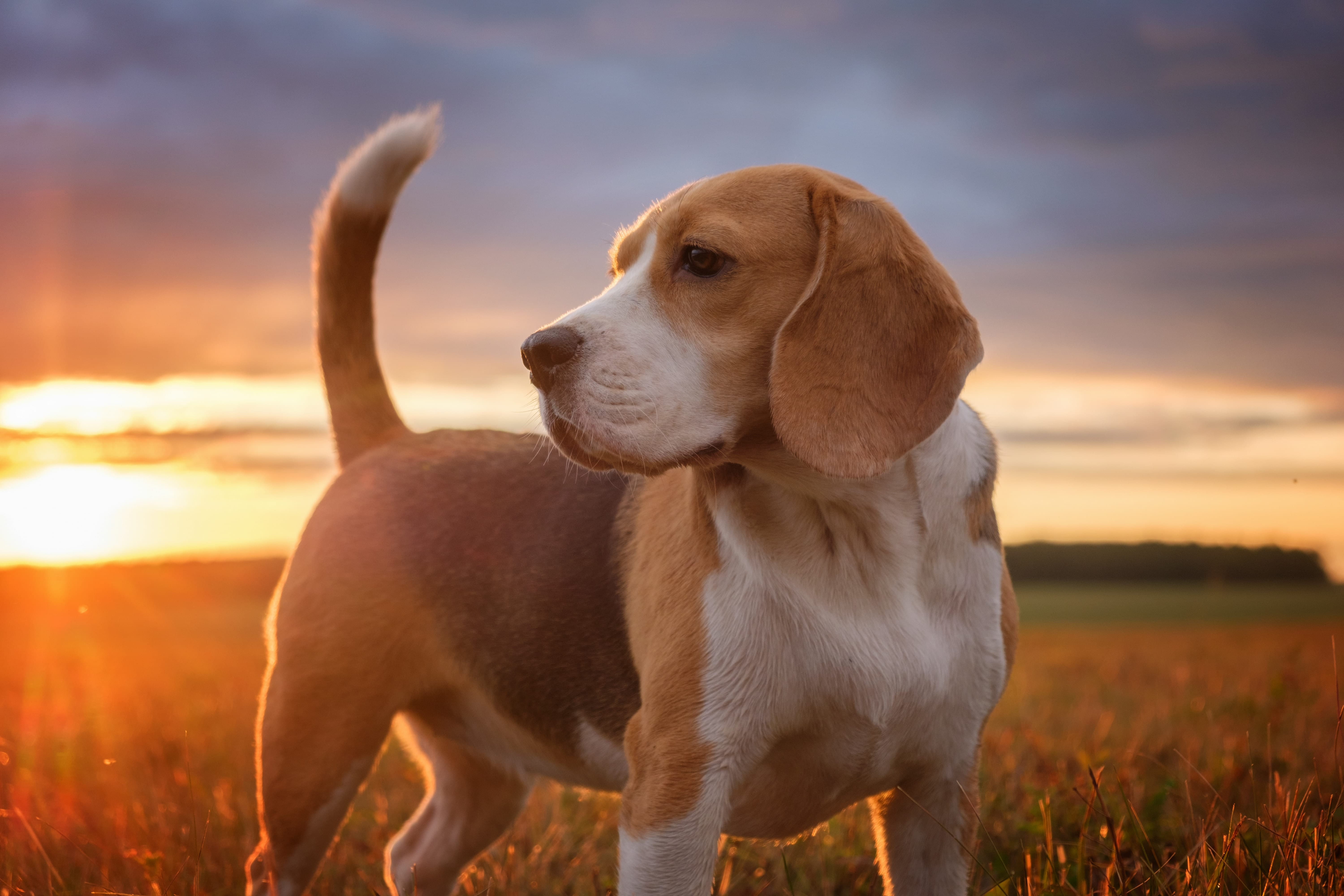 The History Of Beagles Cesar S Way