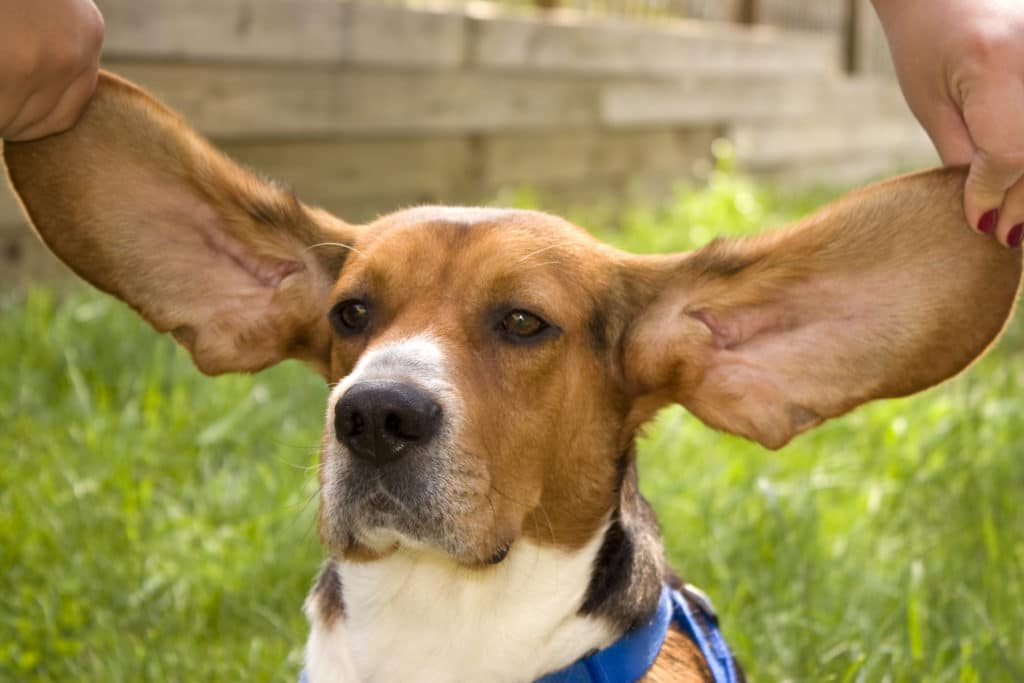 Smelly Ears Cesars Way