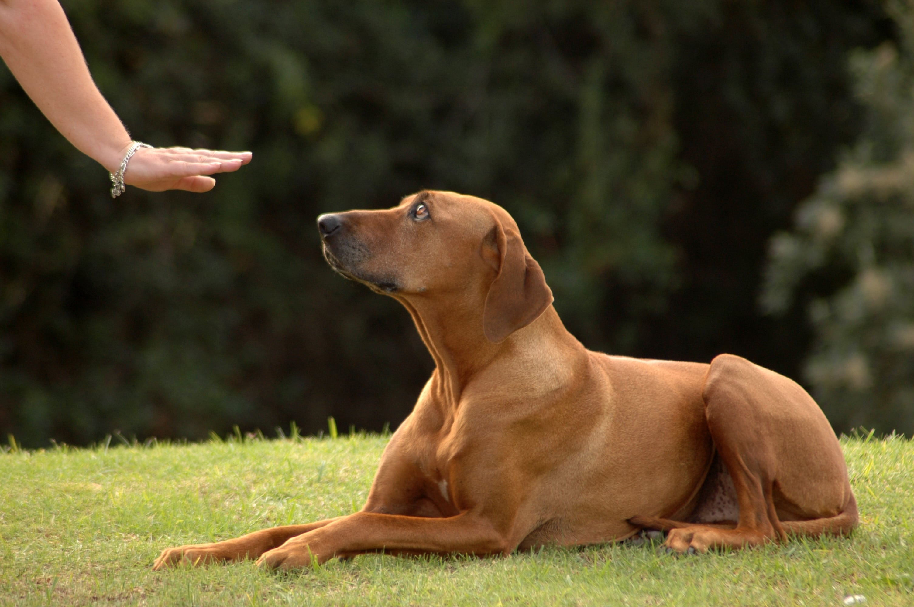 Positive reinforcement in dog training