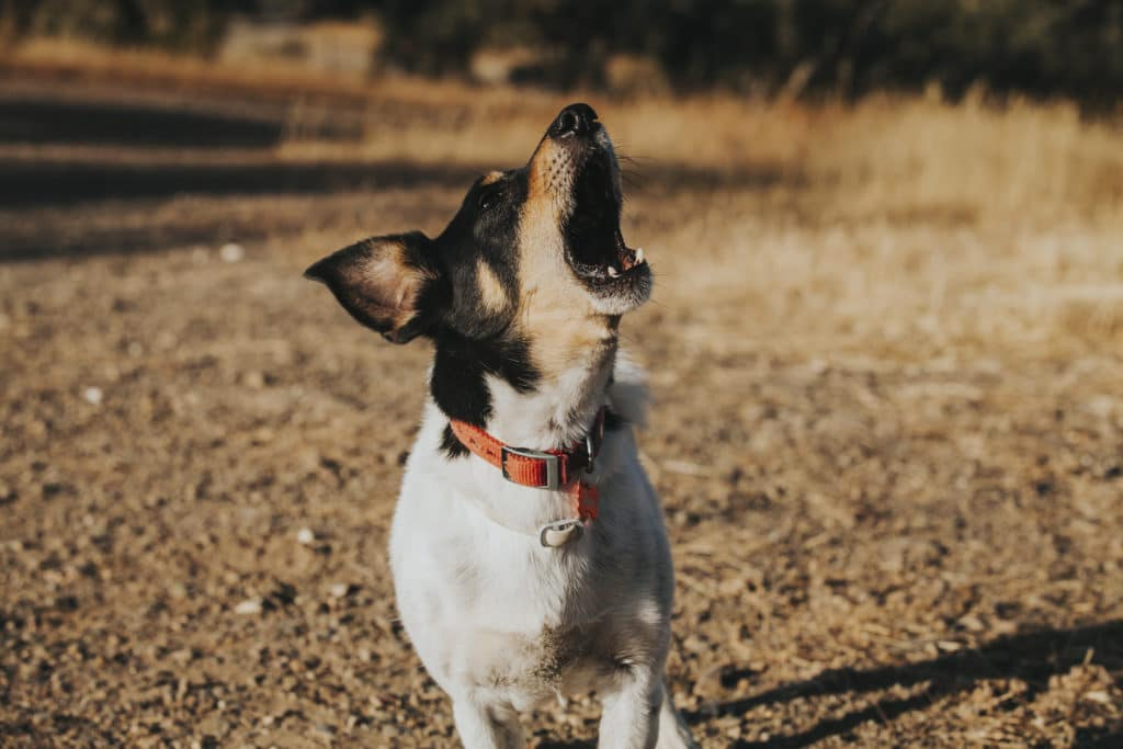 Why do dogs howl? - dog howling toward sky - Cesar's Way