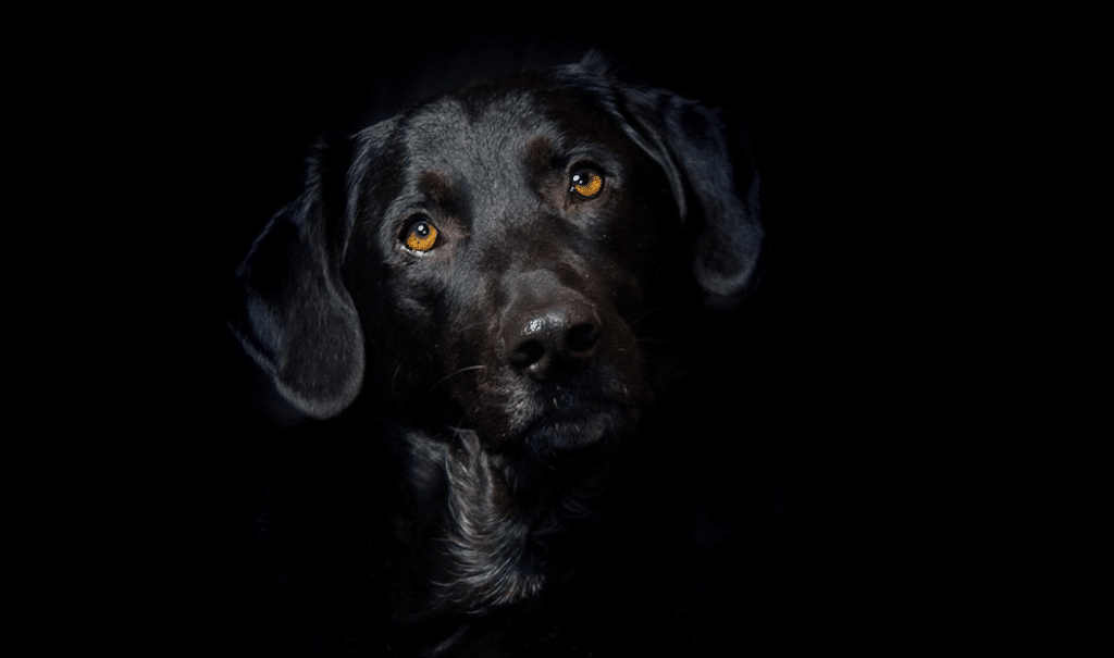 Black Dog Syndrome Why Dogs Are