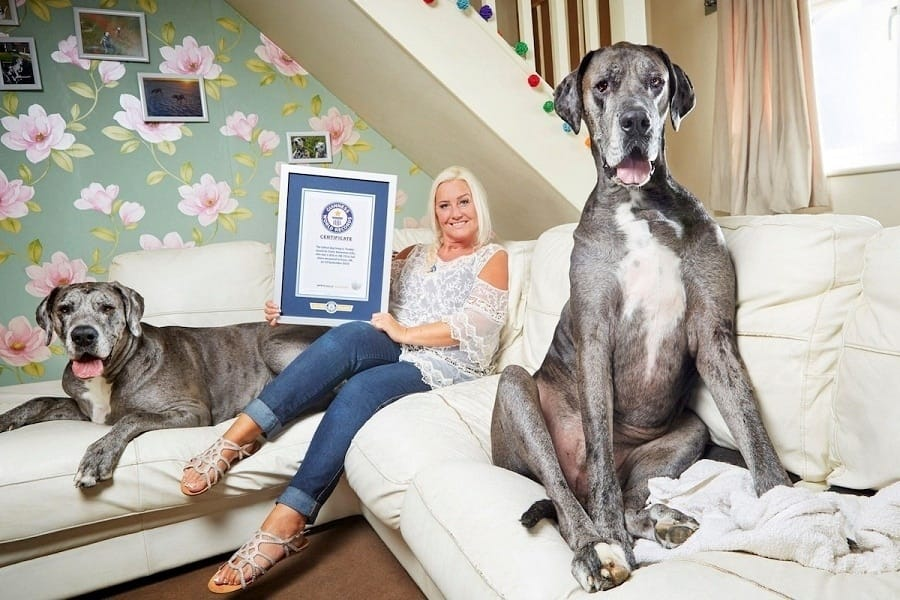 Freddy The 7-Foot Great Dane Is The Tallest Dog In The World
