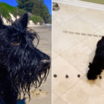 Scottish Terrier Is A Math Genius Who Has Mastered Addition, Subtraction, Multiplication, And Division