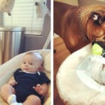 Protective Bull Mastiff Brings His New Baby Brother A Toy Whenever He Starts To Cry