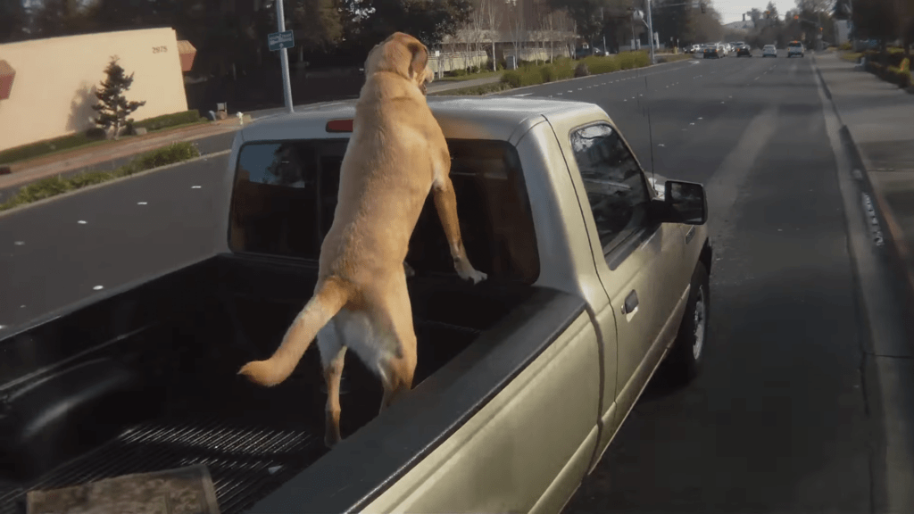 Over 100 000 Dogs Are Killed Annually From Riding In Truck Beds Cesar S Way