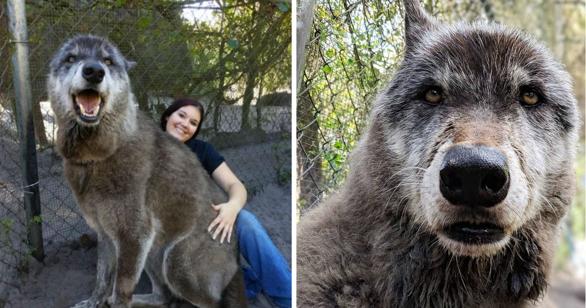 Rare Wolfdog Hybrid Goes Viral Because He Is So Big That People Think He Is Fake Cesar S Way