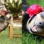Pregnant Dog Poses For Her 'Paw-ternity' Photo Shoot