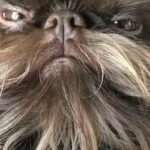 Meet Nuts: The Well-Groomed Belgian Griffon That Looks Like Chewbacca
