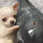 Pigeon That Can't Fly And Special Needs Chihuahua Are Best Buddies