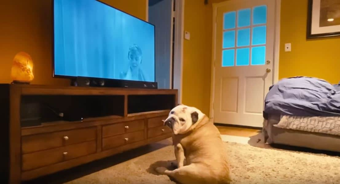 Bulldog Politely Looks Away During Movie S Shower Scene Loses It When The Murder Shows Up Cesar S Way