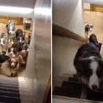 Dogs Wait Patiently For Mom To Call Their Names Out And Climb The Stairs