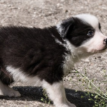 Watch These Border Collie Puppies Meet Sheep For The First Time