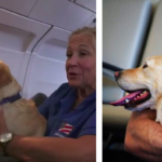 Flight Attendant Makes It Her Mission To Reunite Soldiers With Their Retired Service Dogs
