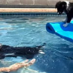 Adorable Puppies Jump Into The Pool For Their First Swimming Lesson