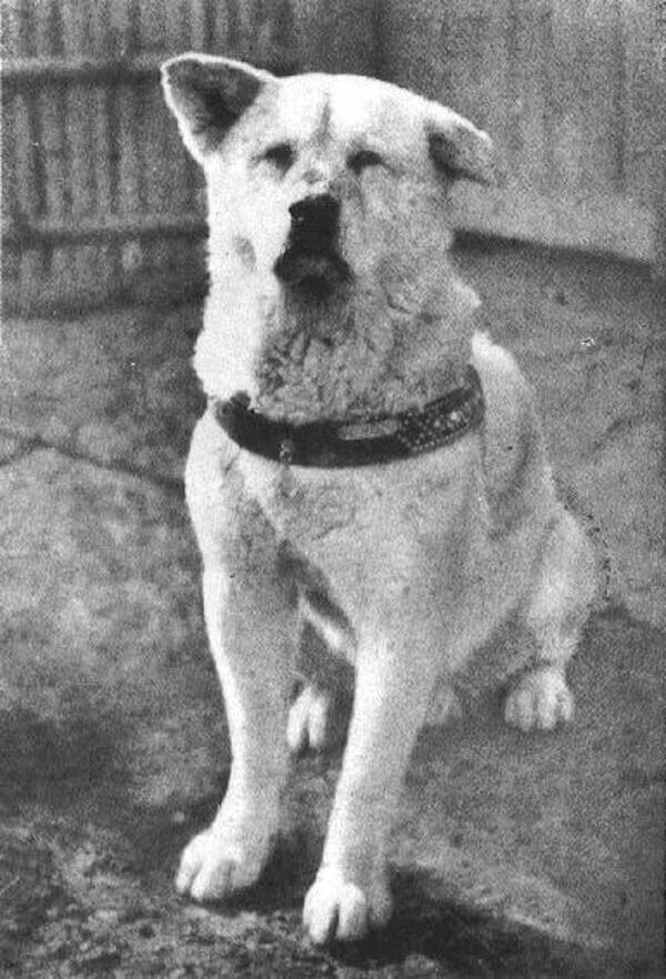 Hachiko dog - full-body photograph - Cesar's Way