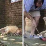 Lazy Dog Stays Asleep Forcing Owner To Clean Around Her