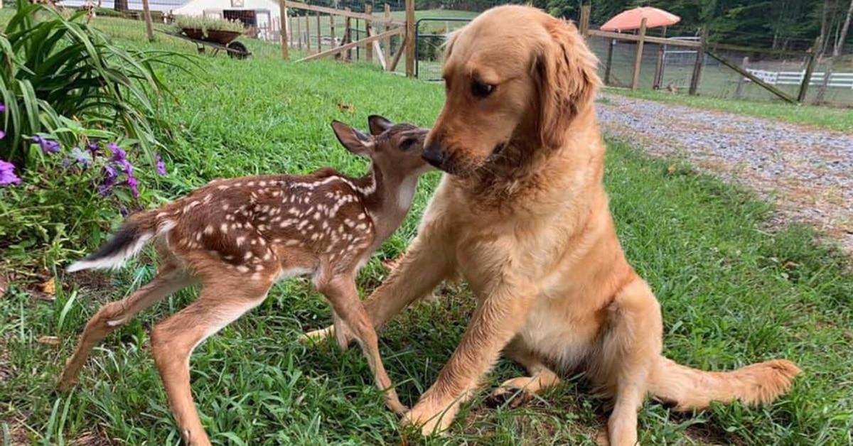 Golden Retriever Puppy Becomes Best