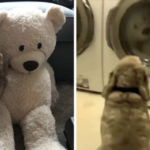 Cocker Spaniel Waits Patiently By The Dryer Until His Stuffed Bear Is 'Safe'