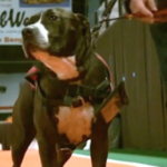 Service Dog Accepts The Diploma For His Deceased Student