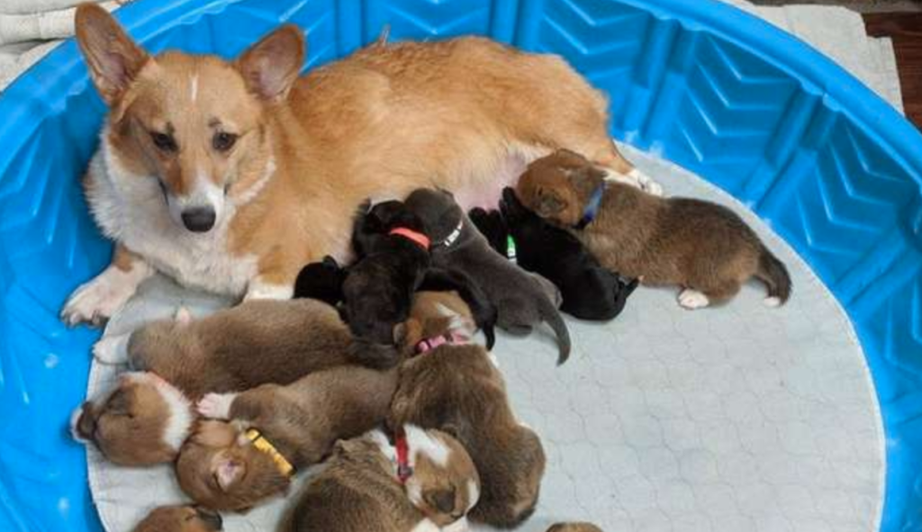 Orphaned Pit Bull Puppies As Her Own