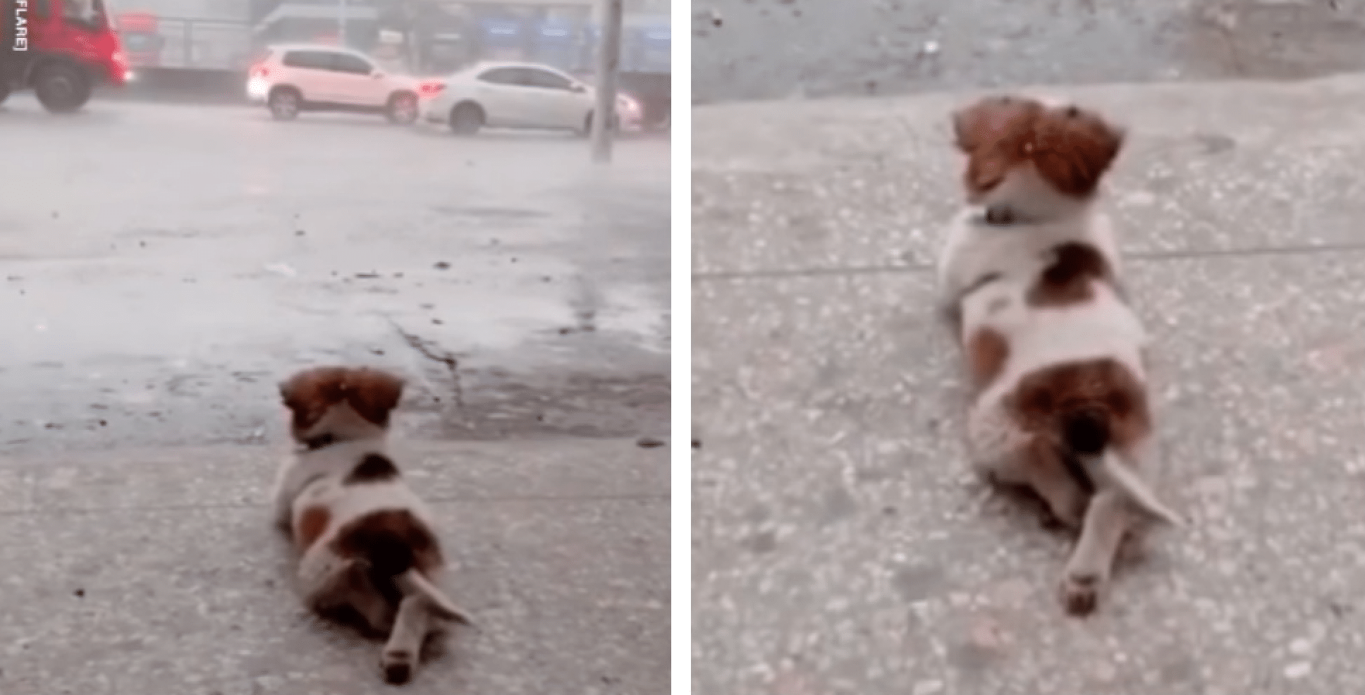 Tiny Dog Goes Viral For Quietly Watching The Rain By Himself