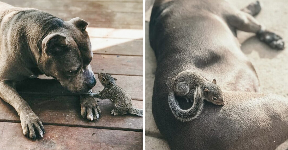 Orphaned Baby Squirrel Followed A Pit Bull Home And Now They're Best Buddies