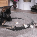 German Shepherd Makes Sure To Be Extra Careful With Baby Chicks