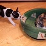 Puppy Tries His Best To Reclaim His Bed From The Cat