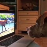 Intrigued Dog Can't Stop Watching Videos Of Other Pups On The Computer