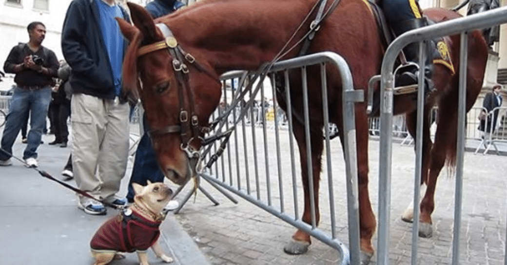 French Bulldog Can't Contain Her Excitement About Meeting A Police Horse
