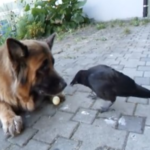 Crow Convinces A German Shepherd To Play Catch