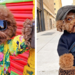 This Maltipoo Went Viral For His 'Poses' Around New York