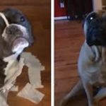 French Bulldog Gets Sold Out By Her Best Friend For Making A Mess