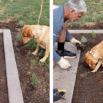 Dad Helps Her Owner Dig Holes For Plants In The Garden