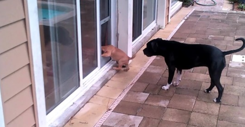 Dog Gives Adorable Puppy A Lesson On How To Use Doggy Door Cesar S Way
