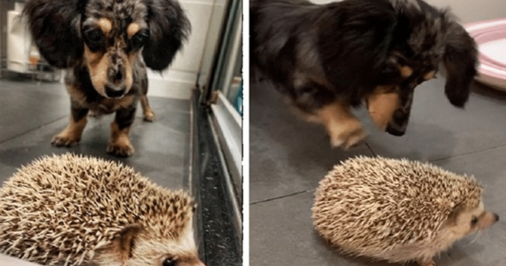 Curious Wiener Dog Meets His Hedgehog Brother For The First Time Cesar S Way