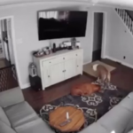 Dog Caught On Security Camera Getting A Bed For His Sick Brother
