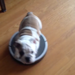 Puppy Helps His Owner Clean The House And Takes A Ride On The Roomba