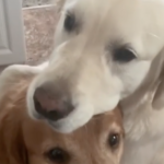Golden Retriever Gives His Brother A Hug After Stealing His Treat