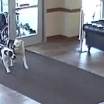 Two Pit Bulls Walk Into A Hospital Alone To Grab Their 'Pupscriptions'