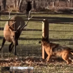 Elk And German Shepherd Play 'Tag' On Different Sides Of The Fence